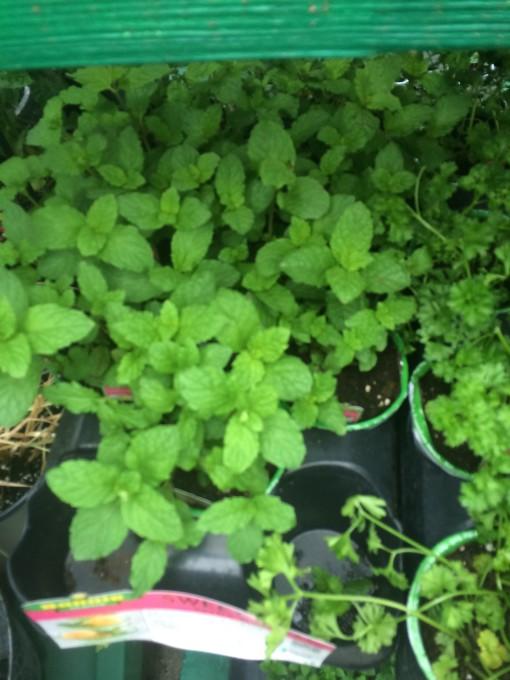 Oregano - plant an herb garden